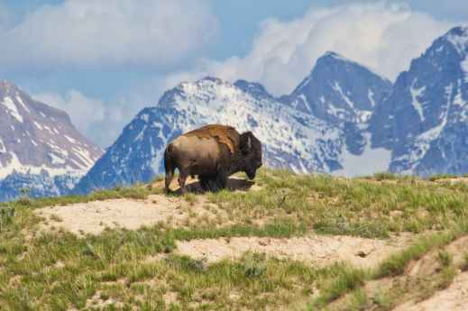 brown bison on top of brown mountain with green grass field
